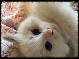 Ragdoll Breeders - Ragdoll kittens for Sale