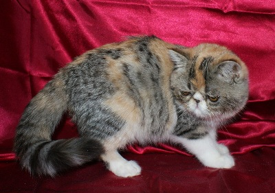 Exotic Shorthair Kitte...