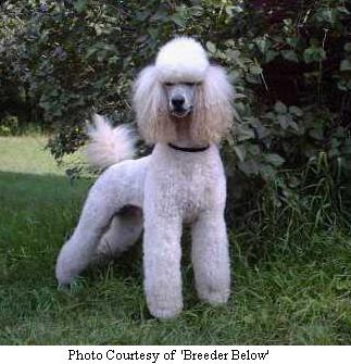 Poodle Breeders Michigan