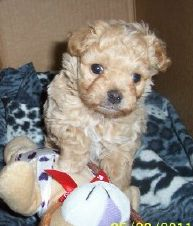 Michigan Maltipoo Puppies for sale