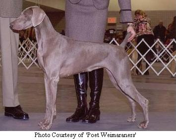 Weimaraner Puppies on Weimaraner Breeders   Illinois  Indiana  Michigan  Ohio